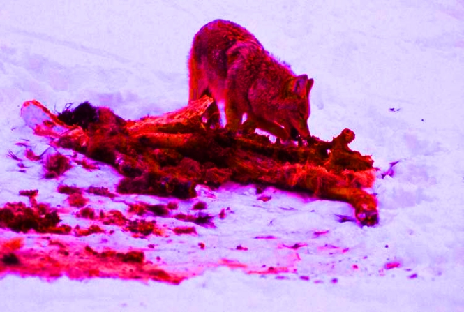 Coyote on elk carcass in winter in Lamar Valley