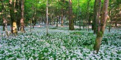 hilton-parkgarlicwoods