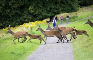 deer crossong