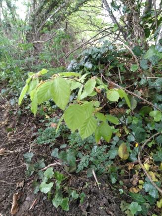 Beech sapling