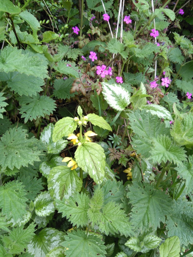 Garden Yellow Archangel and Herb Robert