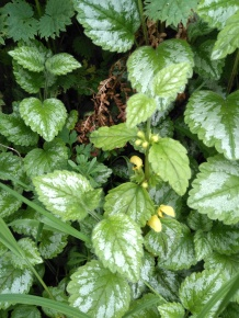 Garden Yellow Archangel